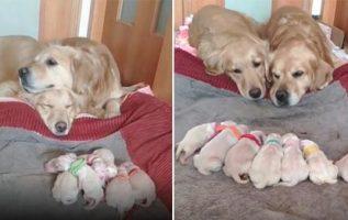Golden Retriever Ebeveynleri Sevimli 7 Sevimli Yeni Doğan Yavrularını İzliyor
