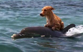 Yunuslar Korkmuş Küçük Köpeği Florida Kanalında Boğulmaktan Kurtarıyor
